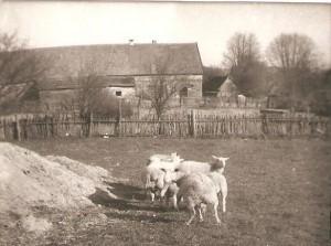 Owce Marii iBogusława Pałków. Wtle zabudowania gospodarcze Państwa Szczepaników , Domacyno wiosna 1980r.